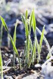 Blé vert dans un gel Photographie stock libre de droits