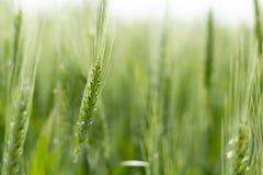Blé vert du Kansas Image libre de droits