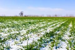 Blé vert en hiver Photos libres de droits