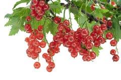 Blöcke der roten Johannisbeere hängen an einem Zweig Stockbilder