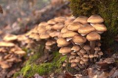 Blöcke der wilden Pilze Lizenzfreie Stockfotografie
