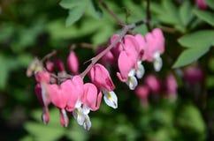 Blödande hjärta för blomma eller en bruten hjärta royaltyfri foto