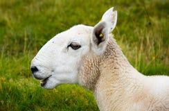 Blökende junge Schafe Stockbilder