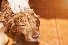 Blöta den bruna spanielhunden Royaltyfri Foto