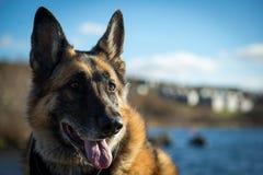 Blöta det Dog för den tyska herden anseendet av Quidi Vidi Lake Arkivfoton