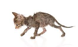 Blöta lite kattungen som isoleras på vitbakgrund Arkivbild