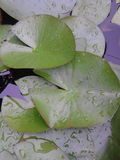 Blöta waterlilly blad Royaltyfria Foton