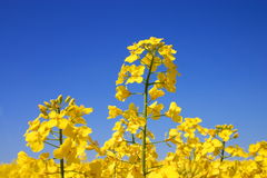 Blühen. Lizenzfreies Stockbild