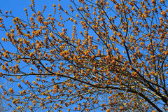 Blühen Asche-leaved oder amerikanisches Ahorn Acer-negundo Stockfotos