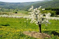 Blühen der Apfelbäume Stockfotografie