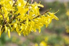 gelber bl 252 hender strauch busch bl 252 te fr 252 hling im botanischen garten naturhintergrund