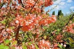 Blühen der japanischen Quitte Lizenzfreies Stockbild