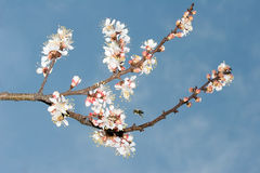 Blühen der Kirsche Lizenzfreie Stockfotos