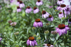 Blühen der purpurroten Klematis Lizenzfreies Stockbild
