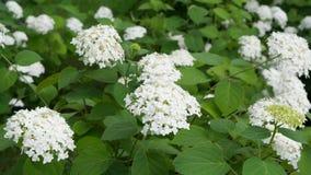 Blühen der recht weißen Blumen Stockfotos