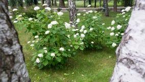 Blühen der recht weißen Blumen Stockbilder
