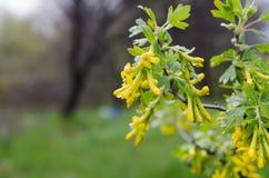 Blühen der schwarzer Johannisbeere Stockfotos