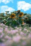Blühen der Sonnenblume Lizenzfreie Stockfotos