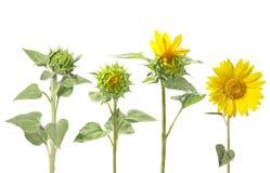 Blühen der Sonnenblume von der Knospe zur schönen Blume Lizenzfreies Stockbild