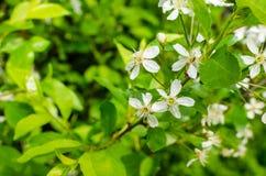 Blühen der weißen Blumen Lizenzfreies Stockfoto