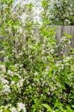Blühen der weißen Blumen Stockfoto