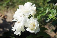 Blühen der weißen Rosen Stockfotos