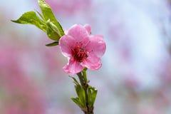 Blühen des FrühlingsObstbaumes Lizenzfreies Stockfoto