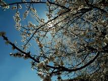 Blühen des Kirschbaums im Frühjahr Stockbild