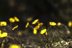 Blühen des Löwenzahns im Frühjahr lizenzfreie stockfotos