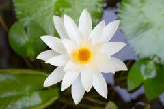 Blühen des weißen Lotos Lizenzfreies Stockfoto