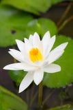 Blühen des weißen Lotos Stockbild