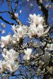 Blühen des weißen Magnolien-Baums Nahaufnahme der weißen Magnolienblumen und des blauen Himmels lizenzfreies stockbild
