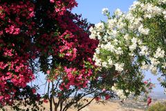 Blühen des weißen und rosa Oleanders Wohlriechende Oleanderblumen der Blüte stockfoto