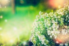 Blühen des wilden Thymians auf unscharfem Naturhintergrund Stockbilder
