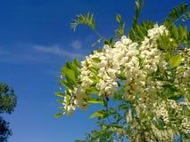 Blühen einer Akazie lizenzfreie stockfotos