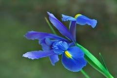 Blühen einer Blende. Stockfoto