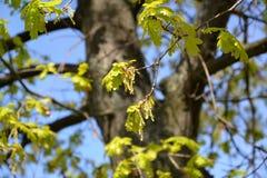 Blühen einer Eiche von Englisch, Eiche Robur L stockfoto