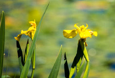Blühen am grünen See Stockbilder