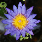 Blühen Lotus-Blume (Seerose) Lizenzfreies Stockfoto