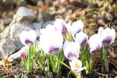 Blühen purpurrote und weiße Frühlings-Blumen Lizenzfreie Stockfotografie