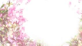 Blühen rosa Blumen auf weißem Hintergrund lizenzfreies stockfoto