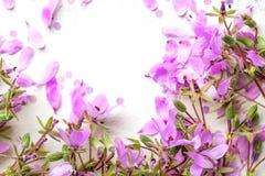Blühen rosa Blumen auf weißem Hintergrund stockbilder