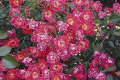 Blühen rote Teerosen des Strauchs im Garten stockfotografie
