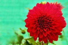 Blühen rotes Dahliengänseblümchen der Blendung mit den schönen Blumenblättern Stockbild