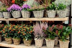 Blühen Sie Anlage im Blumentopf auf dem hölzernen Regal Stockfoto