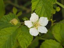 Blühen Sie auf kleinem Busch Blackberry, Rubus, Nahaufnahme, selektiver Fokus, flacher DOF Stockfoto