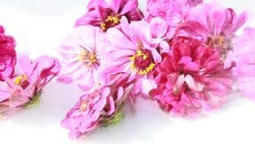 Blühen Sie Blütenstände tsiniya auf einem weißen Hintergrund unter einem Spray des Wassers stock video footage