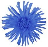 Blühen Sie Blau auf einem weißen Hintergrund, der mit Beschneidungspfad lokalisiert wird nahaufnahme große rauhaarige Blume aster Lizenzfreies Stockbild
