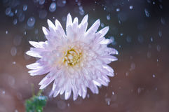 Blühen Sie Chrysantheme auf Hintergrund bokeh mit Wassertropfen lizenzfreie stockbilder