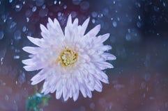 Blühen Sie Chrysantheme auf Hintergrund bokeh mit Wassertropfen stockbilder